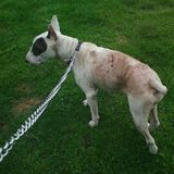 homes pistonheads sos bullie urgent foster needed