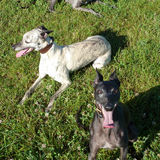 official greyhound rescue retired pistonheads